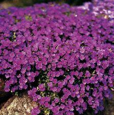 Aubrietia - Cascade Purple - 250 Seeds