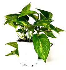 "Golden Devil's Ivy - Pothos - Epipremnum - 4"" Pot - Very Easy to Grow Holiday"