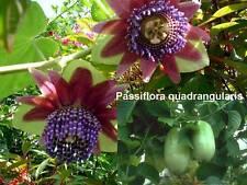 Passiflora quadrangularis, Riesengrenadilla, Passionsblume, 10 Samen