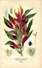 Stampa antica FIORI AMARANTO AMARANTHUS botanica 1896 Antique print flowers