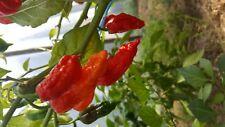 Herbes Suffolk-vipères Bugloss 35 graines