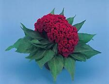 Celosia Amigo Series Magenta Annual Seeds