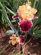 Tall Bearded Tb Iris Mexican Holiday Maroon Gold Plum Plant Rhizome Perennial