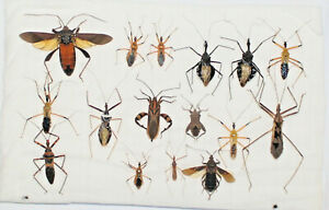 Hemiptera mix, 16 from West Kalimantan (5)
