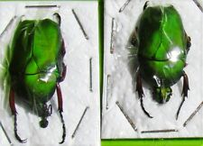 Asian Flower Beetle Trigonophorus foveiceps Pair FAST SHIP FROM USA