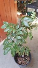 Kohala Longan - Air Layered Tree - 2 to 3  Feet Tall