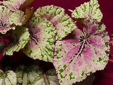 """Begonia Pflanze Harmonie der Ember 4"""" Pot Rex"""