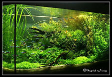 Pellia - Live Aquarium Plant Liverwort Aquaria Tank Fish PL-LI04 STOREREF