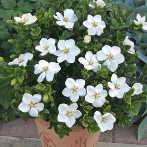 1 X GARDENIA JASMINOIDES KLEIM'S HARDY CAPE JASMINE EVERGREEN SHRUB PLANT IN POT
