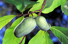 5 PAW PAW FRUIT TREE Indian Banana Asimina Triloba Flower Seeds *Comb S/H + Gift