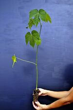 FIRMIANA SIMPLEX alveolo Albero dei parasoli pianta Chinese Parasol Tree plant