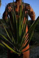 DRACAENA DRACO Dracena Drago pianta plant Dragon's Blood Tree vq