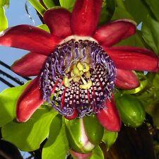 8 semi Passiflora alata-fiore della passione-Passionflower-PROFUMO-essbar - SEEDS
