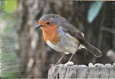 Canvas Print of a Robin - Wildlife Photography Derek A Briggs