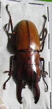 Stag-Beetle Prosopocoilus occipitalis occipitalis Male FAST SHIP FROM USA