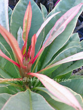 "New Hybrid Plumeria ""Red Angle Wing Leaf Variegated"" Slim Lovely Red Leaf Rare@"