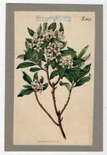 Daphne altaica Curtis Botanical  Flower 1817 Hand Colored Engraving