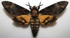 Acherontia atropos male from Slovakia  (mounted)