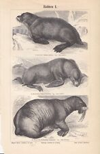 Antique Zoology Animal Illustration Page of Seals from German Book Two Sided