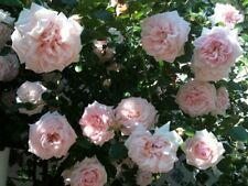 1x Established Awakening Climbing Rose Supplied in a 3L Pot