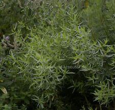 Französischer Estragon (Artemisia dracunculus v sativa).