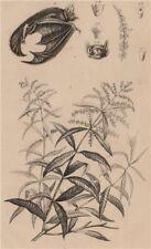 Verveine (Verbena). Vespertilionidae (Vesper bat) 1834 old antique print