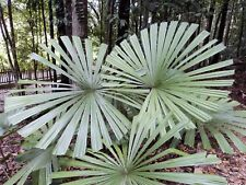MANGROVE FAN PALM (Licuala spinosa) 10 seeds