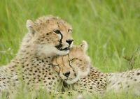 A1| Couple Cheetah Poster Art Print Size 60 x 90cm Wildlife Poster Gift #14141