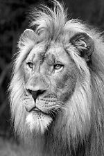 SUPERB LION IN BLACK & WHITE CANVAS #3 WILDLIFE CANVAS PICTURE A1 SIZE WALL ART