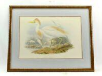 original antique John Gould Bubulcus Russatus color bird Lithograph print
