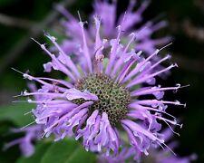 Hardy Purple Bee Balm (Bergamont,Monarda) 30 Seeds Butterfly/Hummingbird Magnet!