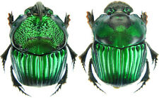 Insect - Phanaeus achilles - FN.Peru - Small Pair ....!!