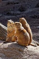 A Trio of Prairie Dogs Hanging Out Journal : Take Notes, Write down Memories.