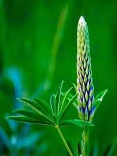 FOTO piante natura Fiore BUD LUPIN VERDE FOGLIA BELLISSIMO Poster Stampa bmp11651