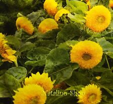 Gefüllte Sonnenblume *TEDDYBÄR* 20 Samen *Sunflower seeds *Sonnenblumensamen
