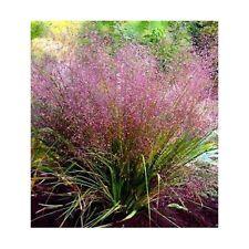 50+ ERAGROSTIS PURPLE LOVE GRASS SEEDS/ PERENNIAL/ THRIVES IN POOR SOILS