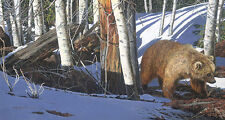 Judy Larson BREAKING THE SILENCE giclee paper, Grizzly Bear #349/350