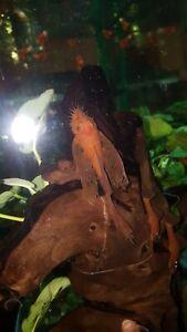 Super red Long Fin Male Bristlenose Pleco (Proved Breeder)