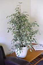 Indoor plant-Ficus Benjamina Variegata-Variegated Weeping Fig 60cm Tall- ON SALE