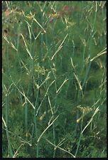 Herb - Fennel - Green - 1000 Seeds