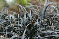 Black Mondo Grass Plugs - Live Plants - Excellent Shade Loving Ground Cover