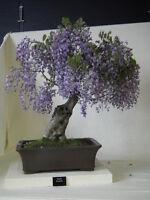 * Paulownia Tomentosa * Blue Royal Empress * Bonsai Tree * Rare * 10 Seeds *
