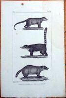 Raton Crabier/Coati/Kinkajou 1830s French Animal Print