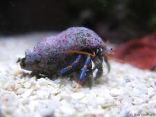 10 LIVE Blue Leg Hermit Crabs