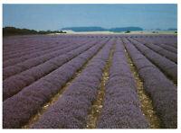 Norfolk Lavender Field, Heacham, England Rare Picture Postcard