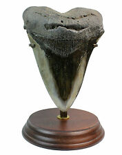 Megalodon Tooth M2 Fossil 4.4 Inches