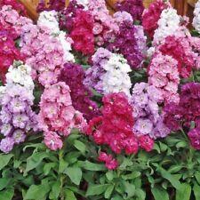 Flower Seeds Matthiola Incana Mix For Cut Bed Bedding Garden Pictorial Packet UK