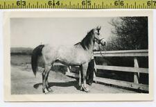 Vintage 1945 photo / RACE HORSE Maarlyman - Owner John Payne of Whittier CA