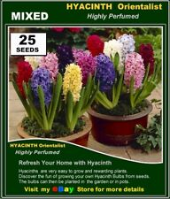FLOWER SEEDS*  HYACINTH Orientalis  Mix Colour 25x SEEDS