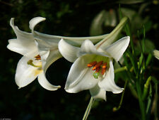 Lillium philippinense-Pure white flowers-Philippine lily -10 fresh  seeds